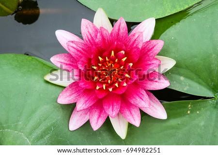 Beautiful lotus flower pond nelumbo nucifera stock photo edit now beautiful lotus flower in pond nelumbo nucifera also known as indian lotus sacred mightylinksfo