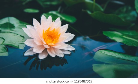 Beautiful Lotus flower in pond  and Lotus plant,Nature background, vintage tone.