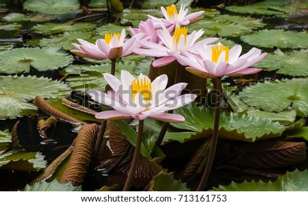 Beautiful lotus flower symbol buddha nickname stock photo edit now beautiful lotus flower is the symbol of the buddha and the nickname given to be mightylinksfo