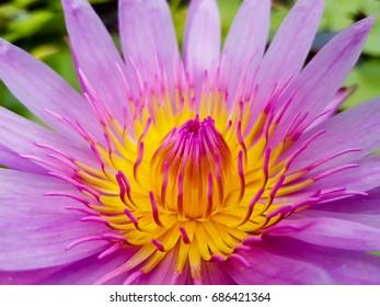 beautiful lotus flower in thailand