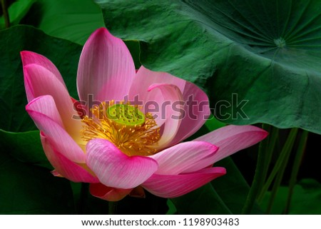Beautiful Lotus Flower Thailand Stock Photo Edit Now 1198903483