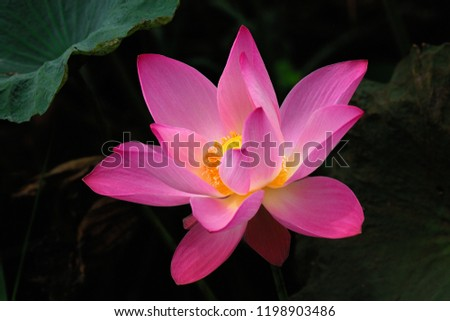 Beautiful Lotus Flower Thailand Stock Photo Edit Now 1198903486
