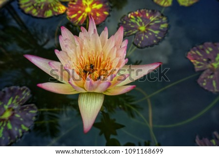 Beautiful Lotus Flower Water Lily Pot Stock Photo Edit Now