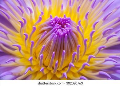 Beautiful lotus flower or waterlily.