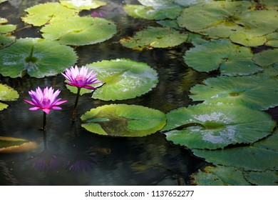 "Beautiful lotus flowers blooming among green leaves in a pond under mottled sunlight ~ Lovely pink water lilies blooming among leaves in a pond Just like Claude  Monet's famous painting ""Water Lilies"""
