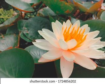 Beautiful lotus flowers floating in the basin.