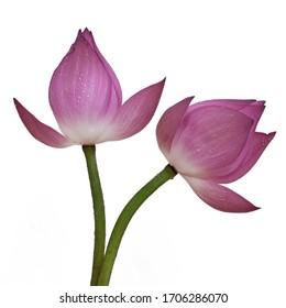 Beautiful lotus flowers in Vietnam.