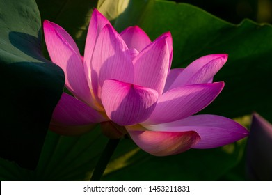 Beautiful Lotus in full bloom in summer
