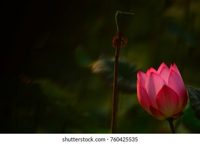 Beautiful lotus and intoxicating garden