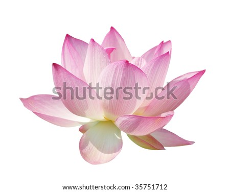 beautiful lotus isolate