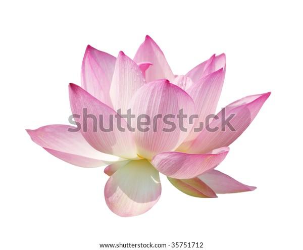 schönes Lotus-Isolat