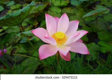 Beautiful lotus in the lagoon