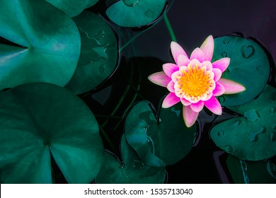 Beautiful lotus leaf near the pond, pure natural background, red lotus, lotus flower on the water surface and dark green watery leaves.