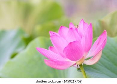 Beautiful lotus material in the park
