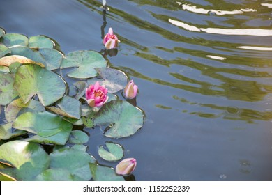 beautiful lotus plants growing in a pond in botanical gardens