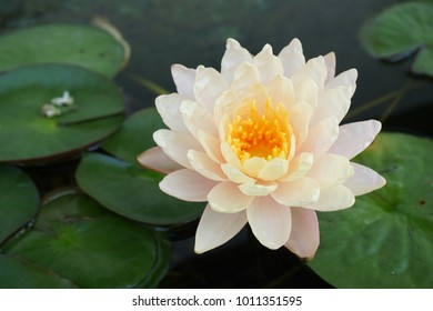 Beautiful Lotus in a pond