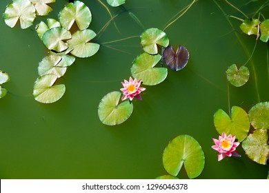Beautiful lotus in pond, Symbol of buddhism