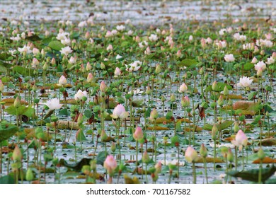 Beautiful lotus is the symbol of the Buddha, Thailand.