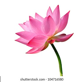 Beautiful lotus(Single lotus flower isolated on white background)