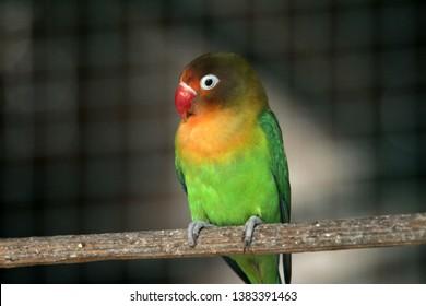 beautiful Love bird in Indonesia - Image