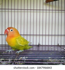 beautiful love bird that dances in a cage, this bird is a bird that is in high demand for twitter competition