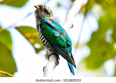 Beautiful And Lovely Asian Emerald Cuckoo Bird Chrysococcyx Maculatus Thailand