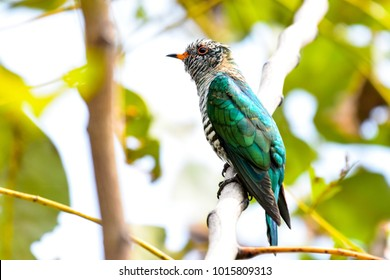 Beautiful And Lovely Baby Asian Emerald Cuckoo Bird Chrysococcyx Maculatus Thailand