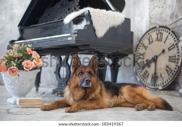 Beautiful and lovely German Shepherd dog. Studio photo shoot in the scenery