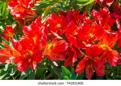 The Beautiful lovely red of Alstroemeria of Lily of the Incas in close up for background at a botanical garden.