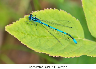 Beautiful Low DOF close-up view in full length to Enallagma cyathigerum (common blue damselfly, common bluet, or northern blue) resting on the green leave on a sunny day in Latvia