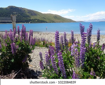 Beautiful lupin flower in crystal clear turquoise lake in South Island New Zealand
