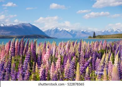 Beautiful lupine flower in Lake Tekapo, New Zealand