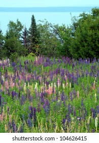 Beautiful lupine flowers grow along the shoreline of Lake Superior in northern Michigan