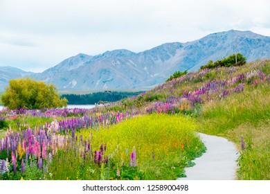 Beautiful Lupins flower around Lake Tekapo area, New Zealand.