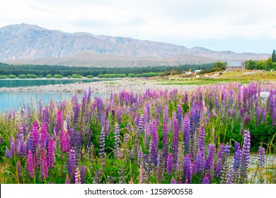 Beautiful Lupins flower around Lake Tekapo church of the good shepherd area, New Zealand.
