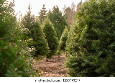 Beautiful, Lush Christmas Trees  Waiting To Be Cut For The Holiday