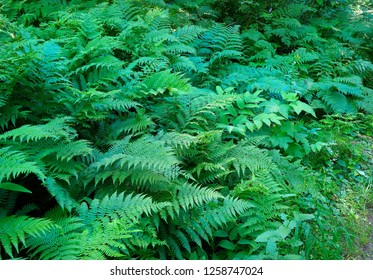 Beautiful Lush Ferns and Undergrowth of a Subtropical Rainforest
