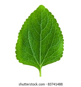 A beautiful lush green leaf. Isolated over white