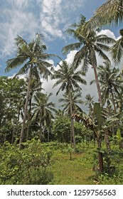 A beautiful and lush palm grove on an exotic island. Taken in Carabao, Philippines, but suitable to illustrate palm trees, tropical travel destinations, or sunny travel destinations.