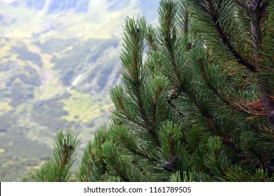 Beautiful lush spruce in the Carpathians