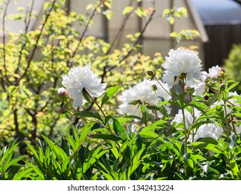 Beautiful lush white flowers of peonies in the garden in the early morning and sunshine