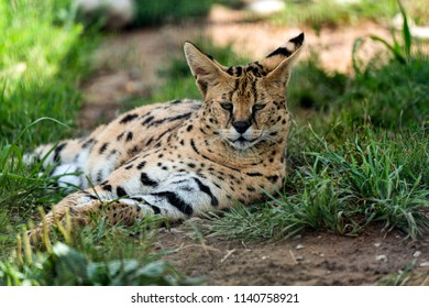 Beautiful lynx feeling sleepy.