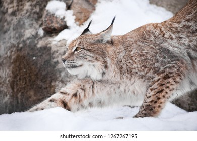 A beautiful lynx in the snow gracefully stretches, demonstrating its harmony and strength. Lynx in the winter on the background of the rocks.