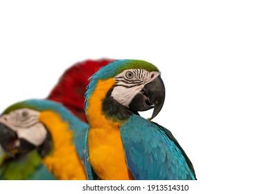 Beautiful of macaw isolated on white background