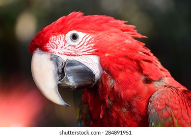 Beautiful Macaw Parrot. Green Wing Macaw