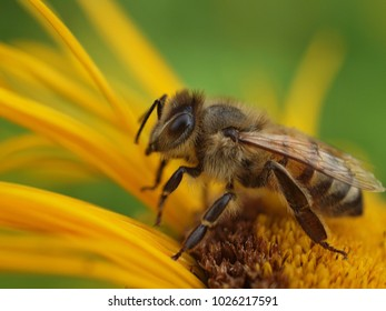 Beautiful macro of a bee on a yellow flower