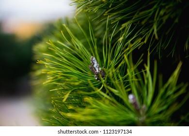 Beautiful macro Christmas tree needles