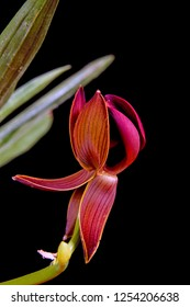 a beautiful macro closeup of a botanical brown orange with stripes asymmetrical bizarre funny looking Mormodes rolfeana species orchid flower branch isolated on black