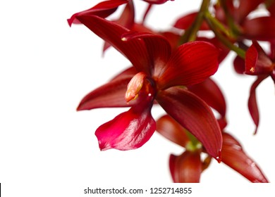 a beautiful macro closeup of a botanical dark red wine color asymmetrical bizarre looking Cycnodes (Mormodes x Cycnoches) species orchid flower branch isolated on white
