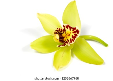 a beautiful macro closeup of a bright yellow with red lip Cymbidium orchid flower branch isolated on white with space for text